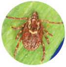 Pictures of ticks - American Dog Tick