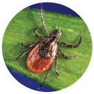 Types of ticks - Blacklegged or Deer Tick