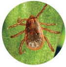 Pictures of ticks - Brown Dog Tick