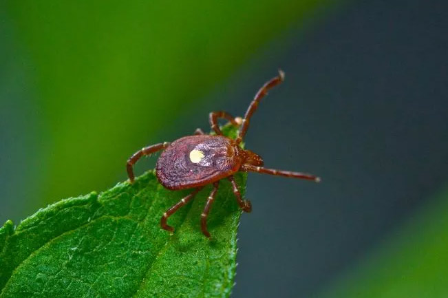 pictures of ticks - Lone Star Tick