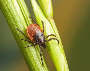 Ixodes scapularis ticks