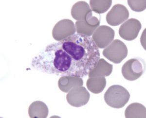 Anaplasma phagocytophilum bacterium