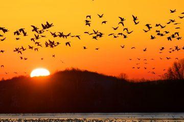 Migrating Birds Help Spread Ticks and Lyme Disease