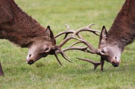 deers_locking_horns_946292699.jpg
