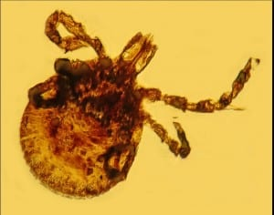 Lyme-infected tick in amber fossil