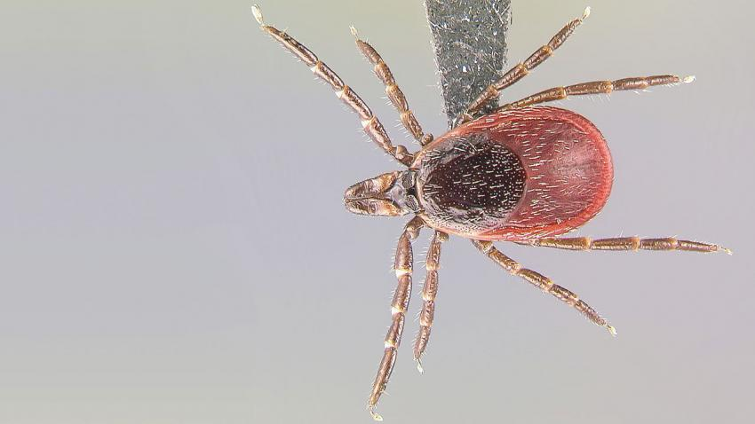 close up image of tick