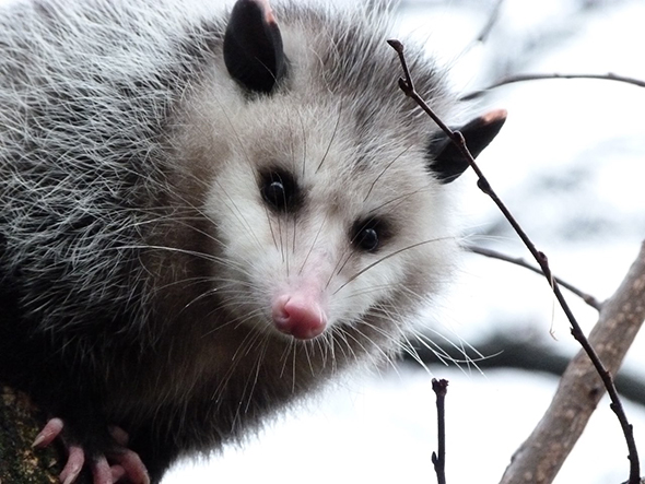 Opossums and raccoons are called 'dilution hosts' because they not only draw ticks away from humans, they also kill attached ticks while grooming and eat smaller mammals that feed ticks. Credit: Kara Jones