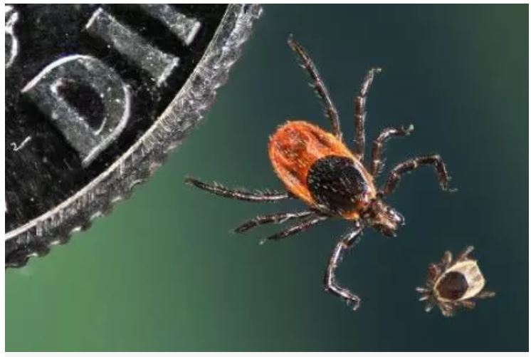 An adult and juvenile deer tick, Ixodes scapularis, are compared in size to a U.S. dime. According to the Centers for Disease Control and Prevention (CDC), reported cases of tick-borne diseases have increased by more than 200 percent over the past 13 years. NIAID