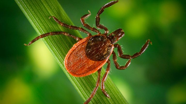 tick that carried Lyme disease