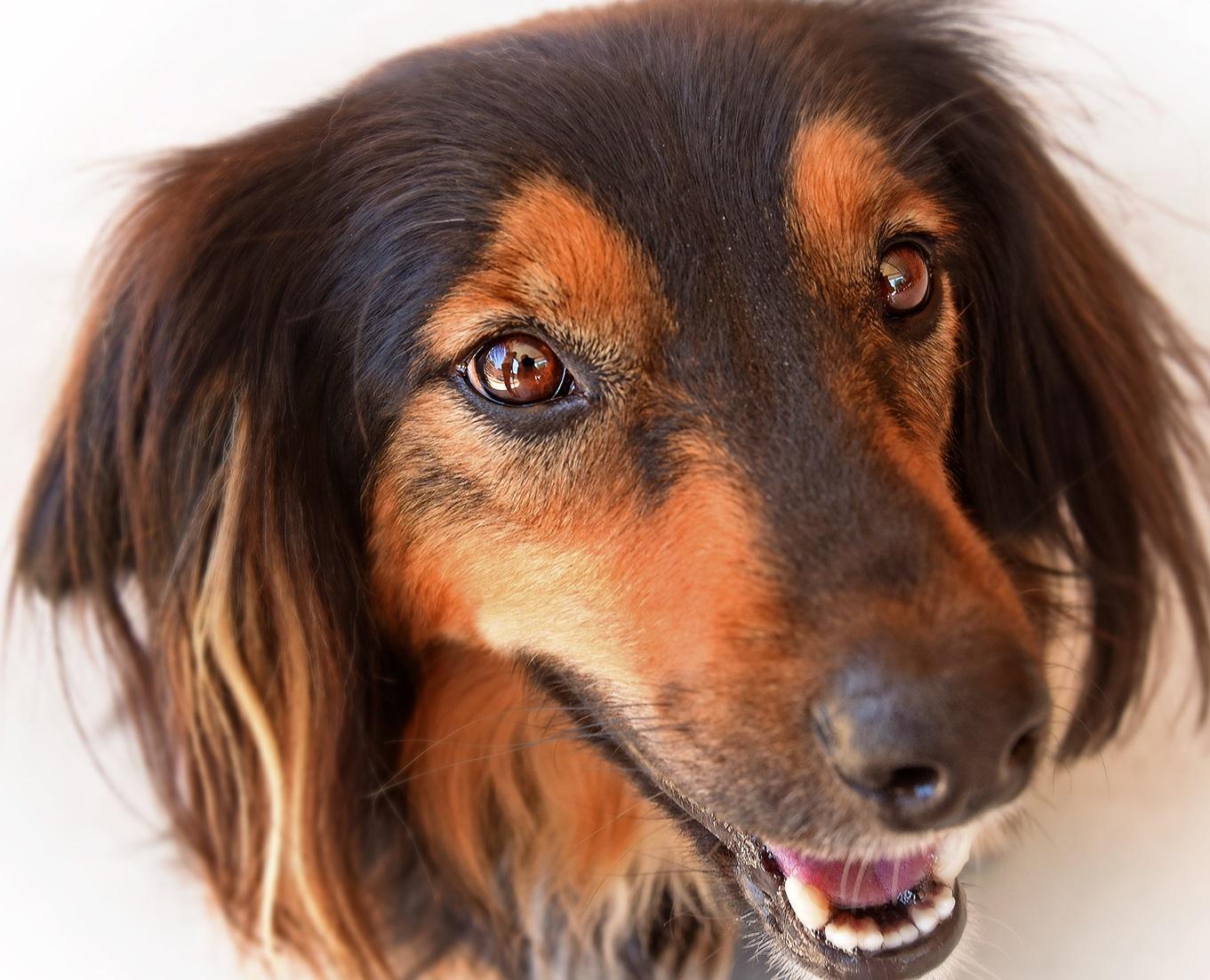 Bartonella found in dog tumors
